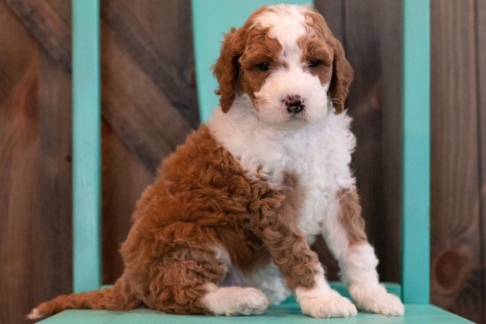 F1BB Goldendoodle